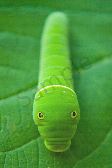 Hidden Caterpillar Wildlife Photo Wall Art by Nature Photographer Melissa Fague