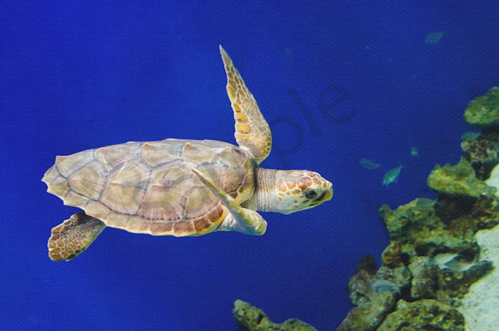 Sea Turtle 1 Wildlife Photo Wall Art by Nature Photographer Melissa Fague
