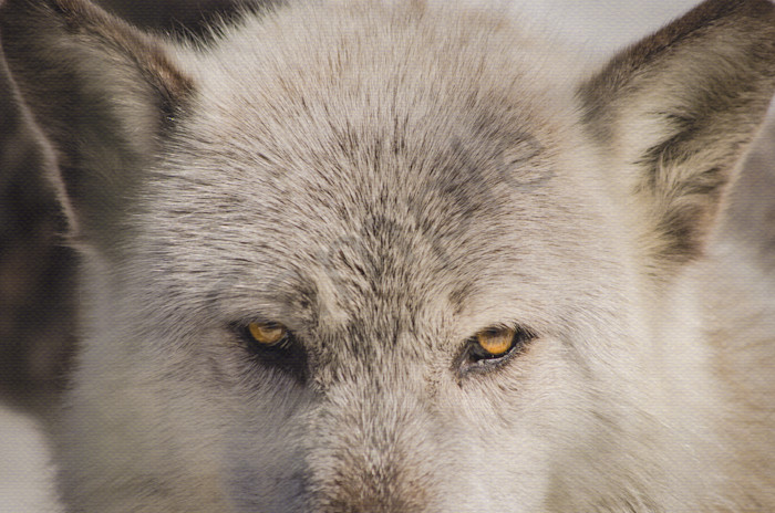 Wolf Eyes Wildlife Photo Wall Art by Nature Photographer Melissa Fague