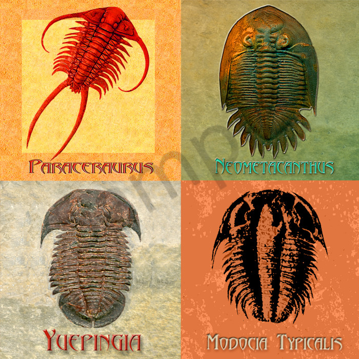 4 Fossil Trilobites