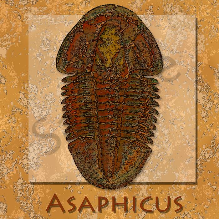 Asaphiscus Trilobite Fossil