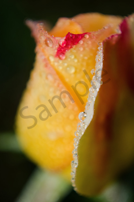 Dew on Yellow Rose Nature Photo Wall Art by Nature Photographer Melissa Fague