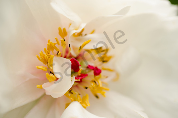 Eye of Peony Nature Photo Wall Art by Nature Photographer Melissa Fague