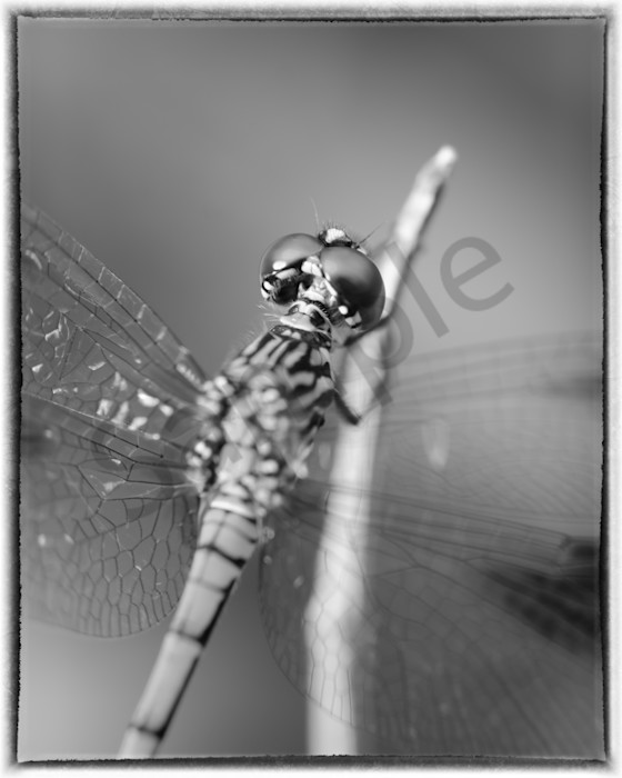 Dragonfly at Bombay Hook Black and White Wildlife Photo Wall Art by Nature Photographer Melissa Fague