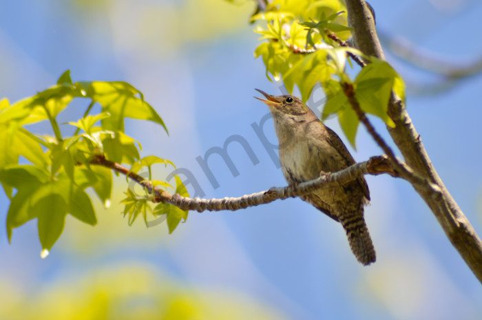 House Wren Wildlife Photo Wall Art by Nature Photographer Melissa Fague