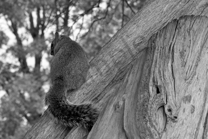 Shy Squirrel Wildlife Photo Wall Art by Nature Photographer Melissa Fague