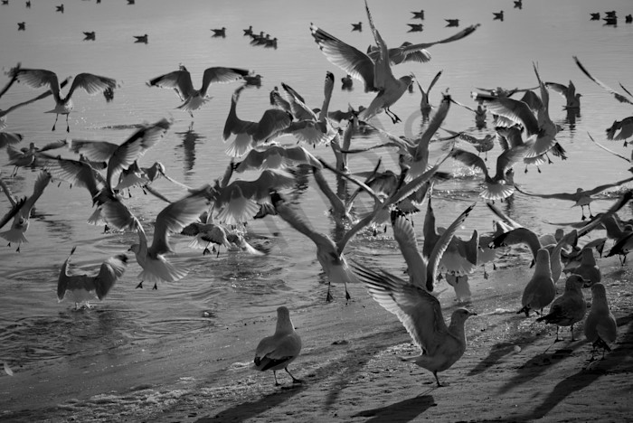 Skimming the Beach Wildlife Photo Wall Art by Nature Photographer Melissa Fague