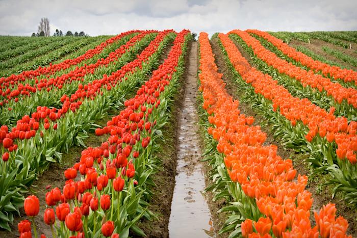 Tulip Field, Skagit County, Washington, USA