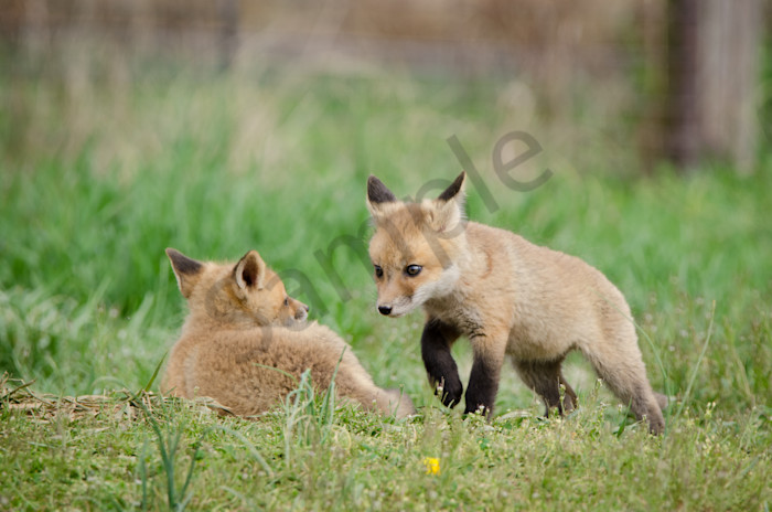 Coming to Get You Wildlife Photography Wall Art Print Wall Art by Nature Photographer Melissa Fague