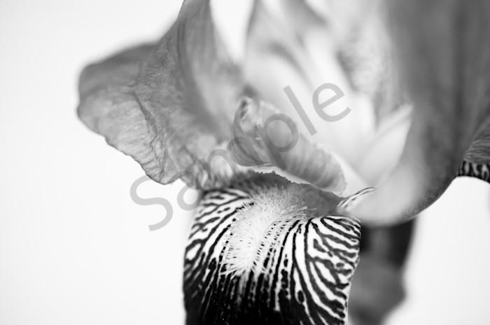 Bold Iris on White Nature Photo Wall Art by Nature Photographer Melissa Fague