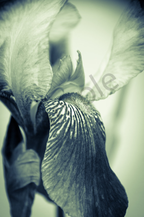 Abstract Japanese Iris Delight Nature Photo Wall Art by Nature Photographer Melissa Fague