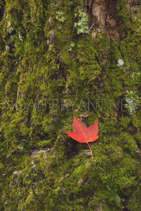 Maple Leaf - Noah Bryant