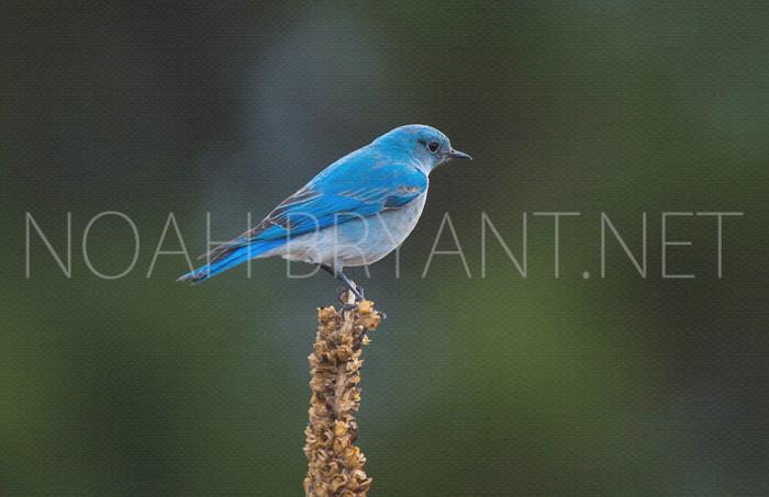 Bluebird - Noah Bryant