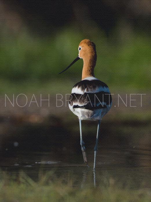 American Avocet - Noah Bryant