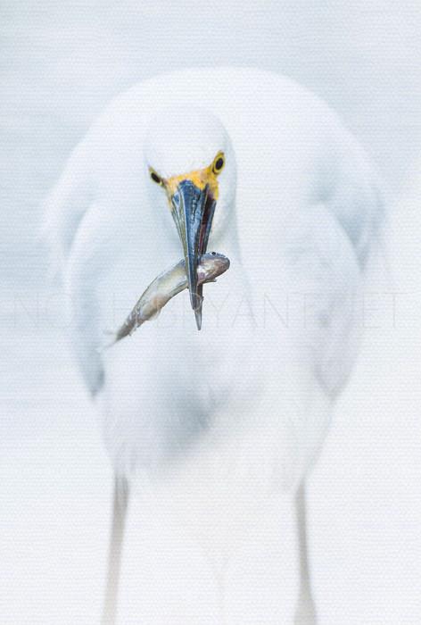 Snowy Egret Eats Fish - Noah Bryant