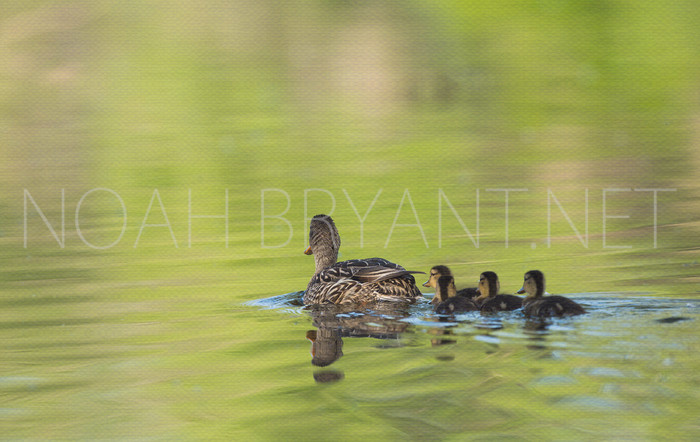 Mallard Ducklings - Noah Bryant