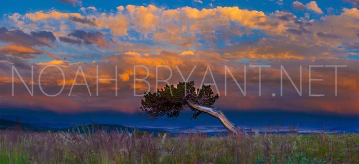 Bristlecone Pine - Noah Bryant