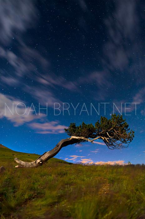 Bristlecone at Night