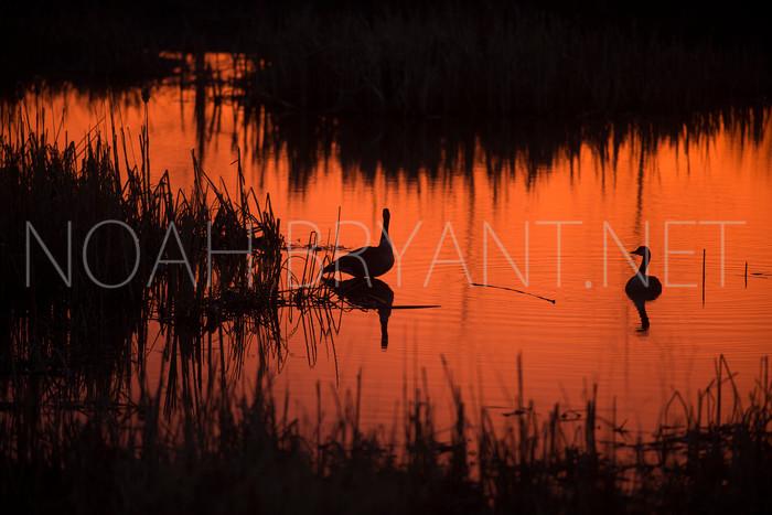 Sunrise Geese - Noah Bryant