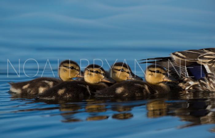 Line of Ducklings
