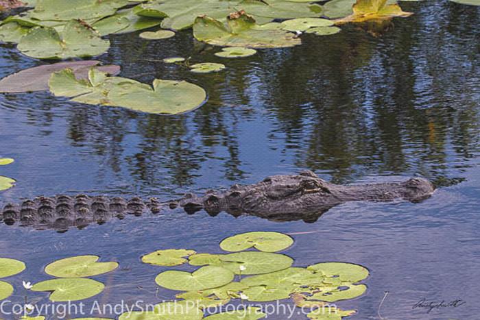 Alligator on the Move fine art photograph