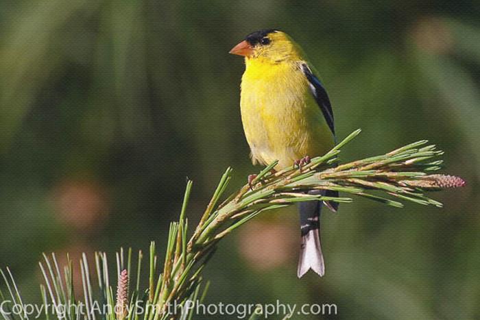 american goldfinch fine art photograph