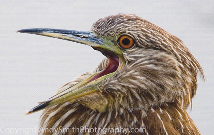 Black-crowned Night Heron fine art photograph