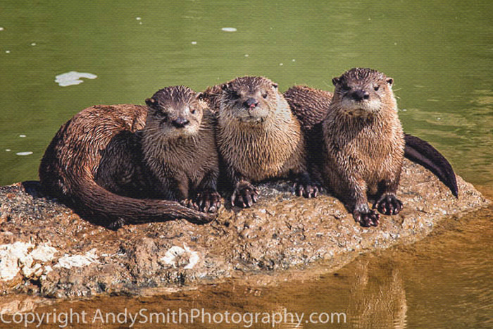 RiverOtters at Rest fine art photograph