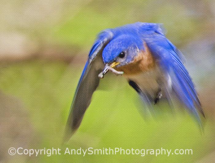 Eastern Male Bluebird in Flight fine art photograph