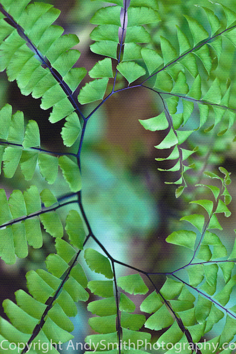 Fine art  photograph of northern maidenhair fern swirl