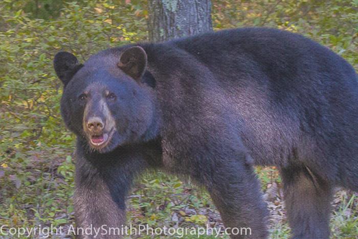 American Black Bear fine art photograph