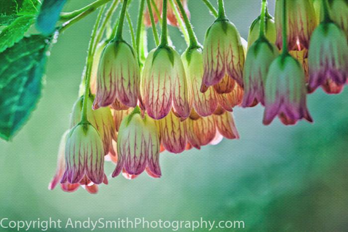 fine art photograph of pieris species