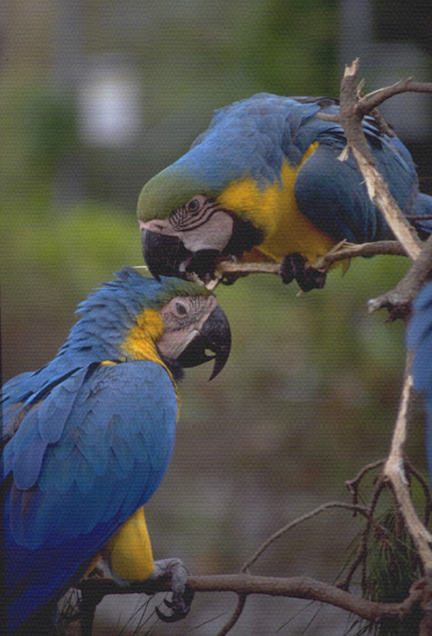 Blue parrot in Loro Park in Puerta de la Cruz, Tenerife, Canary Islands.