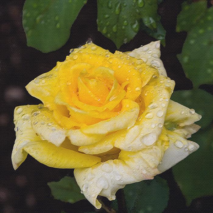 Roses in Charlotte Neill's garden.