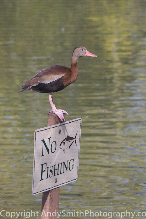 fine art photograph of Black-bellied Whistling Duck perched on a No Fishing sign.
