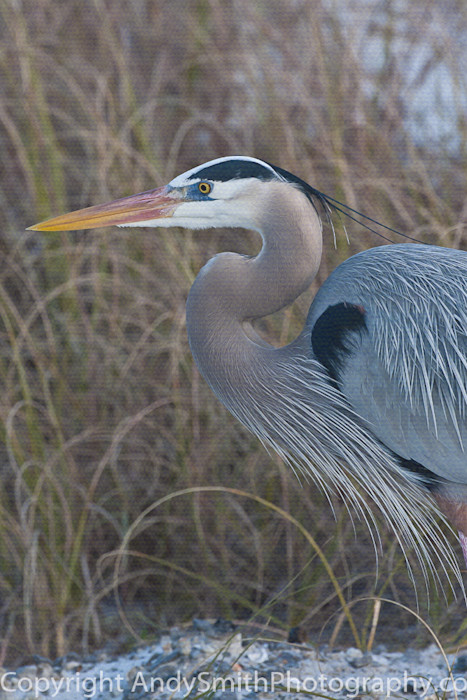 fine art photograph of  Great Blue Heron in breeding plummage