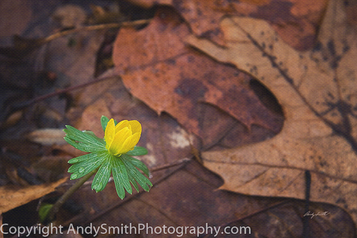 fine art photograph of Winter Aconite, Eranthis hyemalis