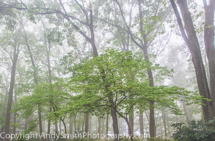 fine art photograph of foggy morning in the woods