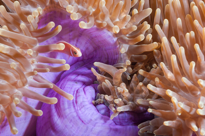 Pink Anemonefish in Purple Anemone, Triton Bay, Indonesia