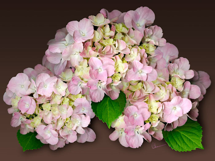 Pink Hydrangea on Brown Background art print by Mary Ahern the Artist.