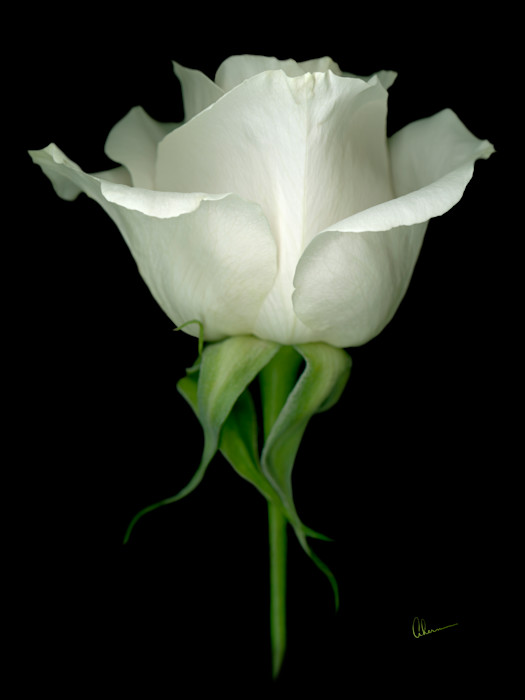 White Rose on Black Background art print by Mary Ahern the Artist.