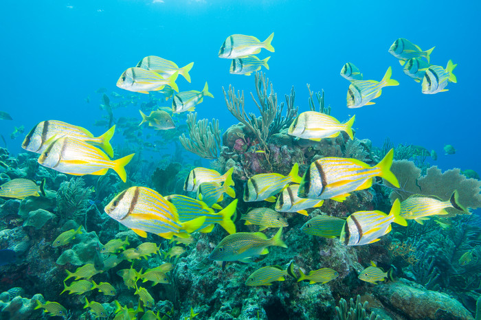 Grunts & Porkfish, Gardens of the Queen, Cuba