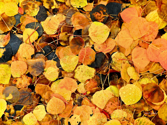 Autumn Gold (10489NWND8-S) Photograph for Sale as Fine Art