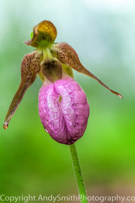fine art photograph of Pink Lady's Slipper