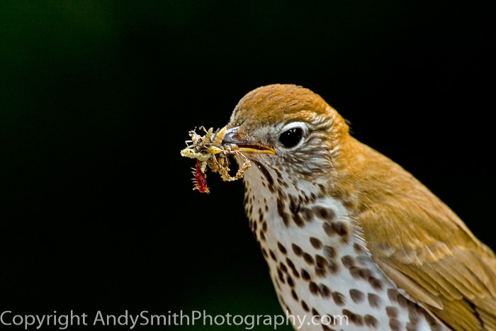 Wood Thrush with a Mouthful fine art photograph