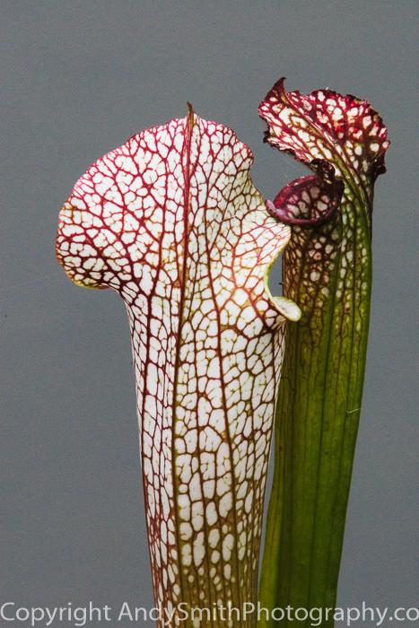 fine art photograph of Pitcher Plants