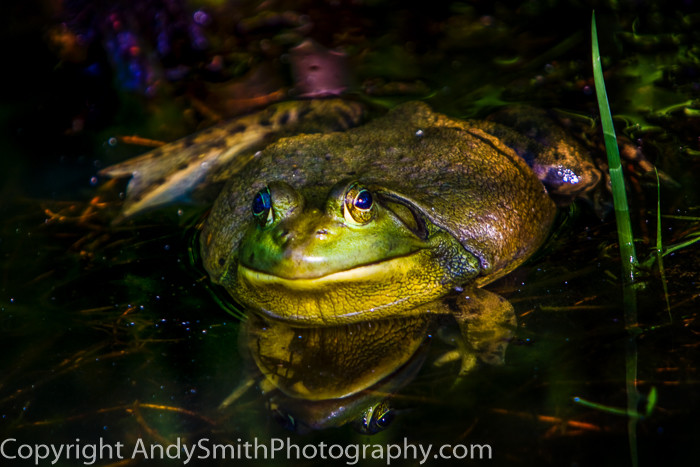 American Bullfrog at Longwood Gardens fine art photograph