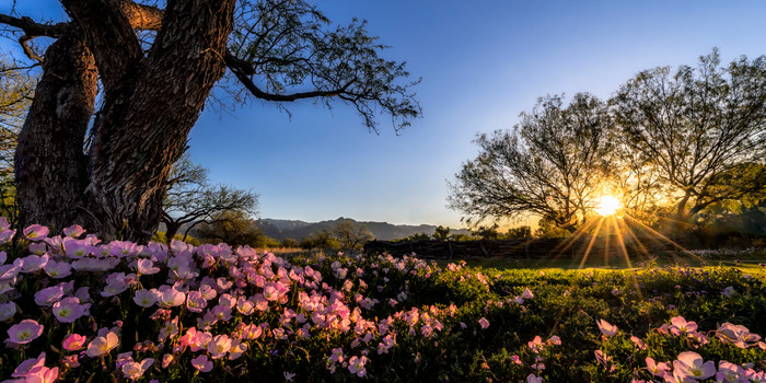 Desert Wildflowers at Sunrise - Tucson, Arizona 2013