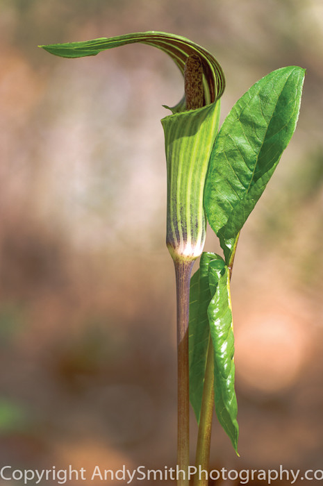 fine art photograph of Jack in the Pulpit