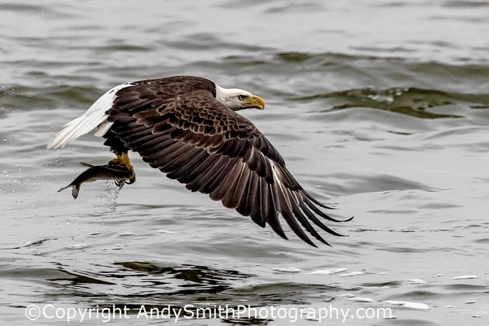 fine art photograph of bald eagle in flight with fish at the Conowingo Dam